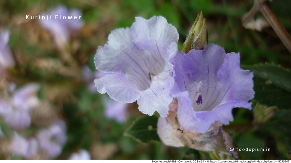 Kodaikanal Kurinji flower